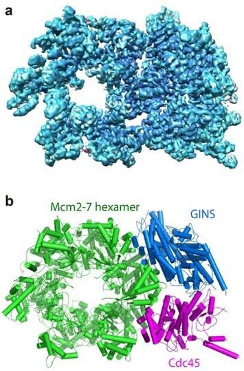BNL Mcm2-7 hexamer