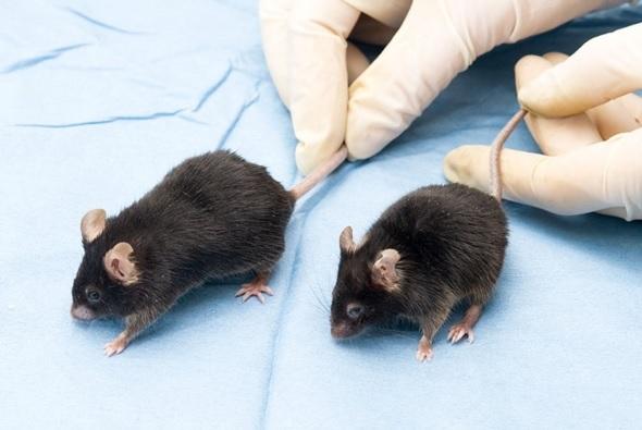 Mice in lab